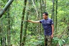 Huyện Quan Hóa trồng luồng theo chuẩn quốc tế FSC để nâng cao giá trị