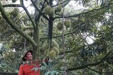 Tiền Giang chuyển đổi đất lúa kém hiệu quả sang cây ăn quả đặc sản