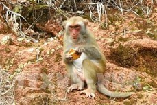 Du lịch tại bán đảo Sơn Trà, Đà Nẵng : Dụ khỉ đến gần bằng bánh kẹo - việc không nên