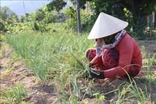 Trồng hành tím cho thu nhập cao ở Ninh Thuận