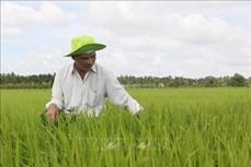 Quảng Trị nhân rộng mô hình sản xuất lúa hữu cơ