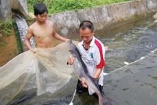 Thu nhập cao từ nuôi cá tầm trong lồng bè ở Lào Cai