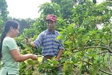 Làm giàu từ nông nghiệp sạch ở Đắk Tô