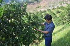 Điện Biên phát triển cây ăn quả theo hướng hàng hóa
