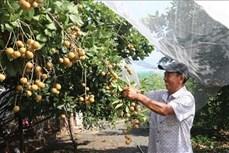 Làm giàu từ vườn cây ăn trái