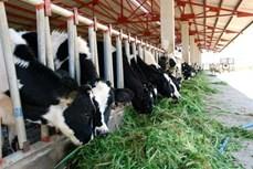 Mô hình chăn nuôi bò sữa giúp các hộ khó khăn, đồng bào dân tộc Khmer thoát nghèo