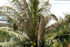 Phòng chống sâu bệnh gây hại trên dừa và cây có múi
