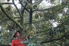 Hiệu quả từ những vùng chuyên canh ở Tiền Giang
