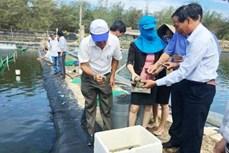 Quảng Ngãi nhân rộng mô hình nuôi ghép hải sâm với ốc hương