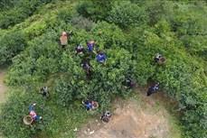Hà Giang bảo tồn, nâng cao giá trị cây chè shan tuyết ở Hoàng Su Phì