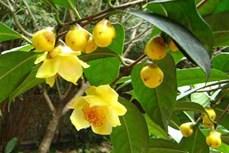 Quảng Ninh bảo tồn và phát triển bền vững cây trà hoa vàng