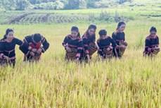 Phục dựng Lễ cúng mừng lúa của người Gia Rai