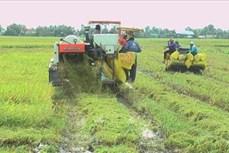 Hiệu quả từ xây dựng cánh đồng lớn liên kết bao tiêu lúa gạo ở Bạc Liêu