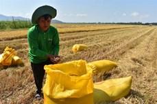 Huyện Châu Thành loay hoay tìm đầu ra cho lúa hữu cơ đạt chuẩn quốc tế