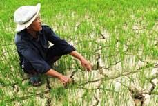 Trà Vinh khuyến khích sử dụng 4 giống lúa thích nghi với đất bị xâm nhập mặn