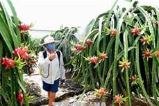 Chuyển đổi cơ cấu cây trồng tại Bình Thuận phát huy hiệu quả