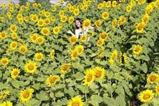 Vườn hoa hướng dương tại phố núi Pleiku thu hút khách tham quan