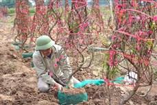 Cây đào nâng cao đời sống người dân Yên Bái