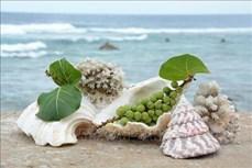 Cây tra - Sức sống xanh nơi trùng khơi