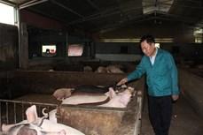 Ông Hà Trọng Tuấn nuôi lợn sạch bằng thảo dược và giun quế
