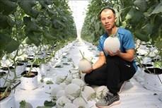 Mô hình trồng dưa lưới Nhật Bản theo công nghệ cao của anh Trương Quang Bôn
