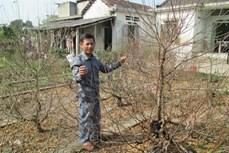 Làng hoa đào Nhà Nít rộn ràng vào vụ Tết Canh Tý 2020