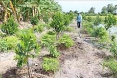 Đồng Tháp chuyển đổi đất lúa kém hiệu quả sang trồng mít Thái