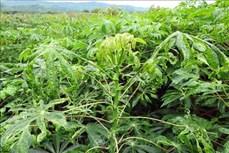 Thừa Thiên – Huế hơn 1.000 ha sắn nhiễm bệnh khảm lá