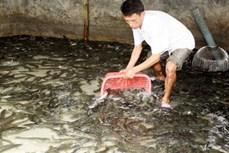 Trà Vinh khuyến cáo các hộ nuôi cá lóc tạm ngưng thả giống do hạn, mặn