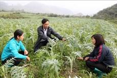 Xây dựng thương hiệu cho dược liệu Lào Cai