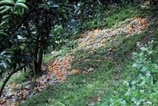 Cam rụng hàng loạt – nông dân Tuyên Quang thiệt hại nặng