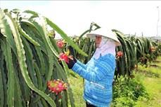 Bà Rịa-Vũng Tàu: Giá thanh long, mít Thái tăng trở lại