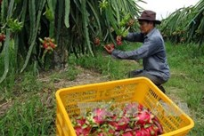 Việt Nam xuất khẩu 5 tấn thanh long ruột đỏ sang Australia