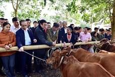 Trao tặng bò giống hỗ trợ hộ nghèo, gia đình chính sách tại tỉnh Tuyên Quang