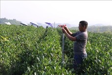 Thái Nguyên thúc đẩy sản xuất chè theo hướng an toàn, hữu cơ