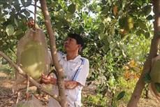 Khuyến cáo trồng mít Thái theo quy hoạch