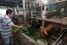 Nuôi bò thịt cho hiệu quả kinh tế cao ở huyện Hòn Đất