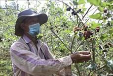 Tăng giá trị sản xuất từ chuyển đổi cơ cấu cây trồng