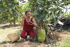Quảng Nam: Chuyển đổi đất ruộng trồng lúa kém hiệu quả sang trồng cây ăn quả
