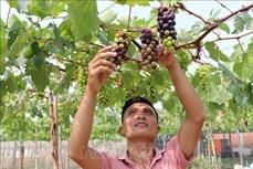 Hiệu quả kinh tế cao từ trồng giống nho mới ở Ninh Thuận