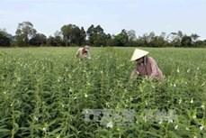 Trồng vừng thay lúa giúp nông dân Cần Thơ tăng thu nhập trong mùa khô hạn