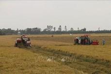Liên kết sản xuất lúa theo mô hình cánh đồng lớn cho hiệu quả cao ở Tiền Giang