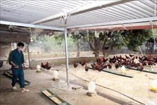 Hiệu quả từ mô hình trang trại gà sạch của anh Lê Minh Thuần