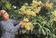 海阳省荔枝花盛开 蜜蜂采蜜忙
