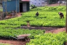 Hiệu quả từ trồng rừng theo chứng chỉ quốc tế FSC ở Tuyên Quang