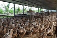 Đồng Tháp đưa ngành hàng chăn nuôi vịt vào chuỗi sản xuất khép kín
