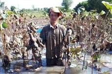 Hiệu quả cao từ mô hình trồng sen lấy củ của chị Nguyễn Thị Thanh Vân