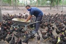 Ông Nguyễn Minh Lý nuôi gà ta thả vườn bằng thảo dược có hiệu quả cao
