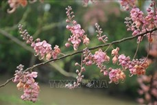 Hoa Ô môi nhuộm hồng cả miền quê yên bình ở An Giang