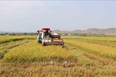 Nông dân Gia Lai với niềm vui lúa được mùa, được giá
